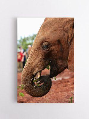 drobė išalkęs dramblys