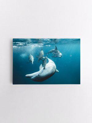 drobė delfinai žaidžia
